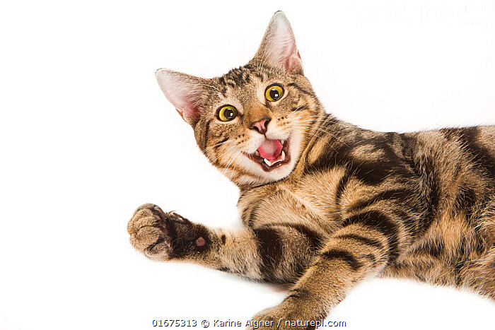 Portrait of a young rescued tabby cat / kitten playing on white background.  ,  Felis catus,Lying down,Cute,Adorable,Rescue,Rescues,Rescuing,Saving,Pattern,Tabby,Tabby Pattern,Tabby Patterns,Facial Expression,Mouth Open,Smiling,Copy Space,Cutout,Plain Background,White Background,Animal,Animal Behaviour,Playing,Domestic animal,Pet,Domestic Cat,Domesticated,Felis catus,Eye contact,Cat,Direct Gaze,Negative space,Funny Face,Looking,  ,  Karine Aigner