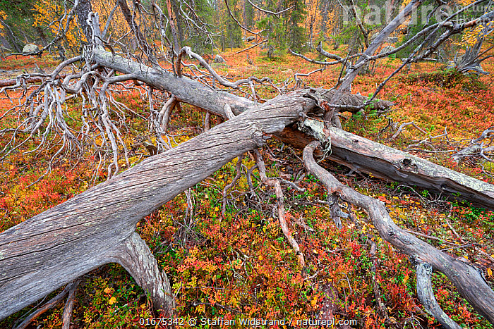 Ancient pine forest in Muddus National Park, Sweden, with old dead trees lying on forest floor, slowly decomposing.  ,  COP26,,,Europe,Northern Europe,North Europe,Nordic Countries,Scandinavia,Sweden,Taiga,Boreal forest,Reserve,Forest,Protected area,National Park,  ,  Staffan Widstrand