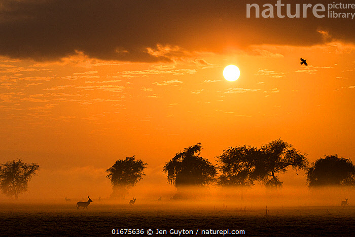 Male Waterbuck at sunrise on the floodplain of Gorongosa National Park, Mozambique.  The sun's rays filter through  smoke from widespread bush fires. The fires are important to keep  the savanna from becoming woodland. They also encourage new growth of grasses.  ,  Africa,Southern Africa,Mozambique,Republic of Mozambique,Fire,Sunrise,Landscape,Savanna,Conservation,Dawn,Mozambican,Habitat management,,COP26  ,  Jen Guyton