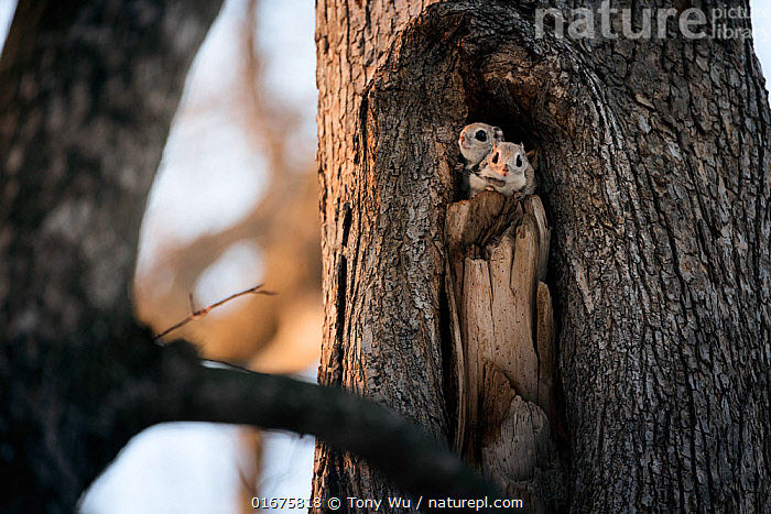 Pair of Japanese dwarf flying squirrels (Pteromys volans orii) nesting in tree hollow. Male in front, female peeking out from behind.  ,  Animal,Wildlife,Vertebrate,Mammal,Rodent,Old World flying squirrel,Russian Flying Squirrel,Animalia,Animal,Wildlife,Vertebrate,Mammalia,Mammal,Rodentia,Rodent,Sciuridae,Pteromys,Old World flying squirrel,Pteromys volans,Russian Flying Squirrel,Siberian Flying Squirrel,Cute,Adorable,Two,Asia,East Asia,Japan,Hokkaido,Female animal,Male Animal,Plant,Tree,Animal Home,Nest,Winter,Male female pair,Biodiversity hotspot,Eye contact,Direct Gaze,Tree hole,Looking,Pteromys volans orii,Ezo momonga,  ,  Tony Wu