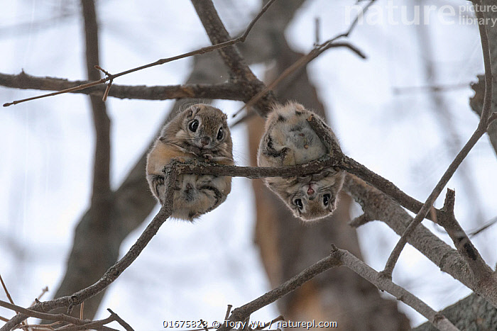 Pair of Japanese dwarf flying squirrels (Pteromys volans orii) during the reproductive season, on branch looking down, Hokkaido, Japan. The female is on the left, male right.  ,  Animal,Wildlife,Vertebrate,Mammal,Rodent,Old World flying squirrel,Russian Flying Squirrel,Animalia,Animal,Wildlife,Vertebrate,Mammalia,Mammal,Rodentia,Rodent,Sciuridae,Pteromys,Old World flying squirrel,Pteromys volans,Russian Flying Squirrel,Siberian Flying Squirrel,Contrasts,Cute,Adorable,Humorous,Upside Down,Two,Asia,East Asia,Japan,Hokkaido,Low Angle View,Female animal,Male Animal,Winter,Male female pair,Biodiversity hotspot,Eye contact,Direct Gaze,Looking,Pteromys volans orii,Ezo momonga,  ,  Tony Wu