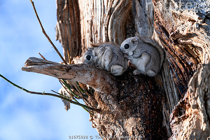 Pair of Japanese dwarf flying squirrels (Pteromys volans orii) shortly before mating (the female is in front). Hokkaido, Japan.  ,  Animal,Wildlife,Vertebrate,Mammal,Rodent,Old World flying squirrel,Russian Flying Squirrel,Animalia,Animal,Wildlife,Vertebrate,Mammalia,Mammal,Rodentia,Rodent,Sciuridae,Pteromys,Old World flying squirrel,Pteromys volans,Russian Flying Squirrel,Siberian Flying Squirrel,Smelling,Sniffing,Two,Asia,East Asia,Japan,Hokkaido,Female animal,Male Animal,Plant,Tree,Winter,Animal Behaviour,Reproduction,Male female pair,Biodiversity hotspot,Oestrus,Estrous,Estrous cycle,Oestrous cycle,Using Senses,Pteromys volans orii,Ezo momonga,  ,  Tony Wu