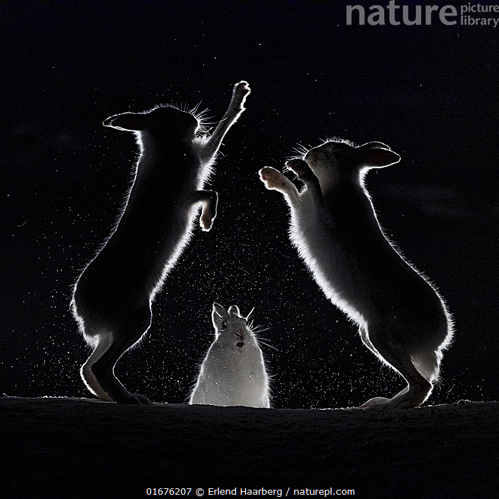 Mountain hares (Lepus timidus) fighting in snow at night, Vauldalen, Norway, April.  ,  Animal,Wildlife,Vertebrate,Mammal,Lagomorph,Leporid,Hare,Mountain Hare,Animalia,Animal,Wildlife,Vertebrate,Mammalia,Mammal,Lagomorpha,Lagomorph,Leporidae,Leporid,Lepus,Hare,Lepus timidus,Mountain Hare,Atmospheric Mood,Conflict,Magic,Magical,Rivalry,Rival,Rivals,Colour,Black,Few,Three,Group,Temperature,Cold,April,Europe,Northern Europe,North Europe,Nordic Countries,Scandinavia,Norway,Plain Background,Black Background,Profile,Monochromatic,Side View,Back Lit,Snow,Winter,Spring,Night,Boxing,Spar,Sparring,Spars,Animal Behaviour,Aggression,Fighting,Silhouette,Dramatic,Trondelag,Vauldalen,  ,  Erlend Haarberg