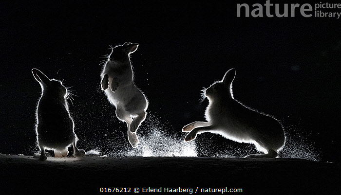 Mountain hares (Lepus timidus) fighting in snow at night, Vauldalen, Norway, April.  ,  Animal,Wildlife,Vertebrate,Mammal,Lagomorph,Leporid,Hare,Mountain Hare,Animalia,Animal,Wildlife,Vertebrate,Mammalia,Mammal,Lagomorpha,Lagomorph,Leporidae,Leporid,Lepus,Hare,Lepus timidus,Mountain Hare,Jumping,Atmospheric Mood,Conflict,Magic,Magical,Rivalry,Rival,Rivals,Colour,Black,Few,Three,Group,Temperature,Cold,April,Europe,Northern Europe,North Europe,Nordic Countries,Scandinavia,Norway,Plain Background,Black Background,Monochromatic,Back Lit,Snow,Winter,Spring,Night,Boxing,Spar,Sparring,Spars,Animal Behaviour,Aggression,Fighting,Silhouette,Dramatic,Moving,Movement,Trondelag,Vauldalen,  ,  Erlend Haarberg