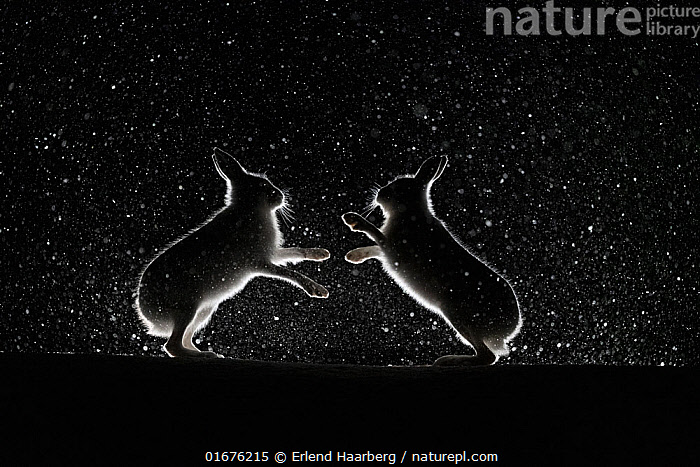Mountain hares (Lepus timidus) fighting in snow at night, Vauldalen, Norway, April.  ,  Animal,Wildlife,Vertebrate,Mammal,Lagomorph,Leporid,Hare,Mountain Hare,Animalia,Animal,Wildlife,Vertebrate,Mammalia,Mammal,Lagomorpha,Lagomorph,Leporidae,Leporid,Lepus,Hare,Lepus timidus,Mountain Hare,Atmospheric Mood,Conflict,Magic,Magical,Rivalry,Rival,Rivals,Colour,Black,Two,Temperature,Cold,April,Europe,Northern Europe,North Europe,Nordic Countries,Scandinavia,Norway,Plain Background,Black Background,Profile,Monochromatic,Side View,Back Lit,Snow,Weather,Snowing,Snowfall,Winter,Spring,Night,Boxing,Spar,Sparring,Spars,Animal Behaviour,Aggression,Fighting,Silhouette,Dramatic,Trondelag,Vauldalen,  ,  Erlend Haarberg