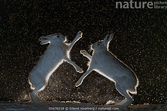 Mountain hares (Lepus timidus) fighting in snow at night, Vauldalen, Norway, April.  ,  Animal,Wildlife,Vertebrate,Mammal,Lagomorph,Leporid,Hare,Mountain Hare,Animalia,Animal,Wildlife,Vertebrate,Mammalia,Mammal,Lagomorpha,Lagomorph,Leporidae,Leporid,Lepus,Hare,Lepus timidus,Mountain Hare,Atmospheric Mood,Conflict,Colour,Black,Two,Temperature,Cold,April,Europe,Northern Europe,North Europe,Nordic Countries,Scandinavia,Norway,Plain Background,Black Background,Profile,Monochromatic,Side View,Snow,Weather,Snowing,Snowfall,Winter,Spring,Night,Boxing,Spar,Sparring,Spars,Animal Behaviour,Dramatic,  ,  Erlend Haarberg