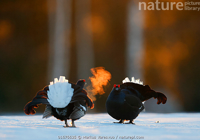 Two male Black grouse (Tetrao / Lyrurus tetrix) confronting eachother at lek, with breath condensing in cold air. Kuusamo, Finland, April.  ,  Animal,Wildlife,Vertebrate,Bird,Birds,Grouse,Black grouse,Animalia,Animal,Wildlife,Vertebrate,Aves,Bird,Birds,Galliformes,Galliforms,Galloanserae,Phasianidae,Tetrao,Grouse,Tetraonidae,Tetraoninae,Tetrao tetrix,Black grouse,Eurasian black grouse,Blackgame,Courting,Confronting,Confronts,Rivalry,Rival,Rivals,Two,Temperature,Cold,April,Europe,Northern Europe,North Europe,Nordic Countries,Finland,Male Animal,Condensation,Evaporate,Water Vapor,Water Vapour,Snow,Spring,Water,Animal Behaviour,Reproduction,Mating Behaviour,Courtship,Aggression,Fighting,Display,Lekking,Competition,Two animals,Kuusamo,Northern Ostrobothnia,Breath,Lyrurus tetrix,Northern Black Grouse,Gamebird,Gamebirds,Game bird,Game birds  ,  Markus Varesvuo