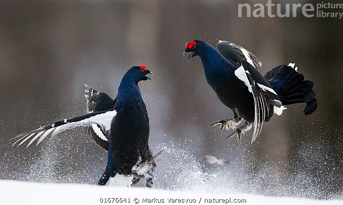 Two male Black grouse (Tetrao / Lyrurus tetrix) fighting at lek. Kuusamo, Finland, April.  ,  Animal,Wildlife,Vertebrate,Bird,Birds,Grouse,Black grouse,Animalia,Animal,Wildlife,Vertebrate,Aves,Bird,Birds,Galliformes,Galliforms,Galloanserae,Phasianidae,Tetrao,Grouse,Tetraonidae,Tetraoninae,Tetrao tetrix,Black grouse,Eurasian black grouse,Blackgame,Courting,Confronting,Confronts,Rivalry,Rival,Rivals,Face To Face,Two,April,Europe,Northern Europe,North Europe,Nordic Countries,Finland,Profile,Side View,Male Animal,Snow,Spring,Animal Behaviour,Reproduction,Mating Behaviour,Courtship,Aggression,Fighting,Display,Lekking,Competition,Two animals,Kuusamo,Northern Ostrobothnia,Lyrurus tetrix,Northern Black Grouse,Gamebird,Gamebirds,Game bird,Game birds  ,  Markus Varesvuo