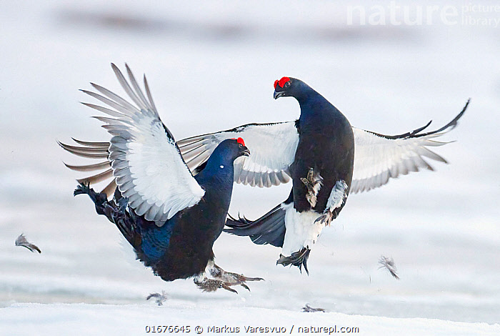 Two male Black grouse (Tetrao / Lyrurus tetrix) fighting at lek. Utajarvi, Finland, April.  ,  Animal,Wildlife,Vertebrate,Bird,Birds,Grouse,Black grouse,Animalia,Animal,Wildlife,Vertebrate,Aves,Bird,Birds,Galliformes,Galliforms,Galloanserae,Phasianidae,Tetrao,Grouse,Tetraonidae,Tetraoninae,Tetrao tetrix,Black grouse,Eurasian black grouse,Blackgame,Courting,Confronting,Confronts,Rivalry,Rival,Rivals,Face To Face,Two,April,Europe,Northern Europe,North Europe,Nordic Countries,Finland,Male Animal,Feather,Wing,Snow,Spring,Animal Behaviour,Reproduction,Mating Behaviour,Courtship,Aggression,Fighting,Display,Lekking,Competition,Two animals,Utajarvi,Lyrurus tetrix,Northern Black Grouse,Gamebird,Gamebirds,Game bird,Game birds  ,  Markus Varesvuo