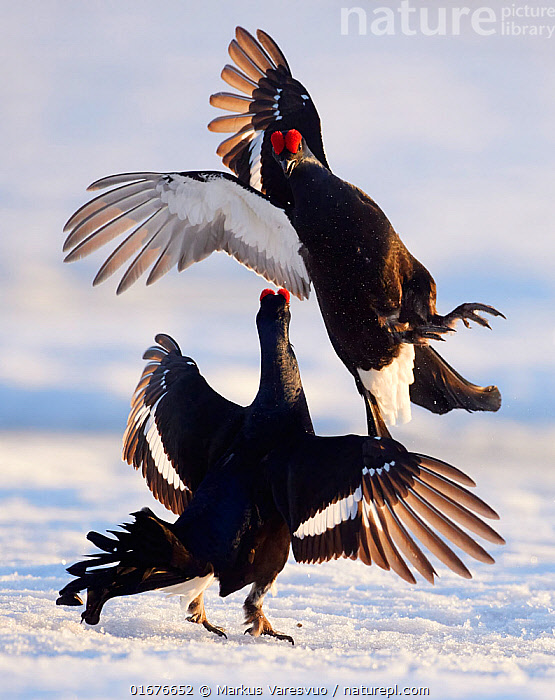 Two male Black grouse (Tetrao / Lyrurus tetrix) fighting at lek. Utajarvi, Finland, April.  ,  Animal,Wildlife,Vertebrate,Bird,Birds,Grouse,Black grouse,Animalia,Animal,Wildlife,Vertebrate,Aves,Bird,Birds,Galliformes,Galliforms,Galloanserae,Phasianidae,Tetrao,Grouse,Tetraonidae,Tetraoninae,Tetrao tetrix,Black grouse,Eurasian black grouse,Blackgame,Courting,Confronting,Confronts,Rivalry,Rival,Rivals,Two,April,Europe,Northern Europe,North Europe,Nordic Countries,Finland,Male Animal,Feather,Wing,Snow,Spring,Animal Behaviour,Reproduction,Mating Behaviour,Courtship,Aggression,Fighting,Display,Lekking,Competition,Two animals,Utajarvi,Lyrurus tetrix,Northern Black Grouse,Gamebird,Gamebirds,Game bird,Game birds  ,  Markus Varesvuo
