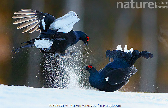 Two male Black grouse (Tetrao / Lyrurus tetrix) fighting at lek. Kuusamo, Finland, April.  ,  Animal,Wildlife,Vertebrate,Bird,Birds,Grouse,Black grouse,Animalia,Animal,Wildlife,Vertebrate,Aves,Bird,Birds,Galliformes,Galliforms,Galloanserae,Phasianidae,Tetrao,Grouse,Tetraonidae,Tetraoninae,Tetrao tetrix,Black grouse,Eurasian black grouse,Blackgame,Courting,Confronting,Confronts,Rivalry,Rival,Rivals,Face To Face,Two,April,Europe,Northern Europe,North Europe,Nordic Countries,Finland,Profile,Side View,Male Animal,Feather,Wing,Snow,Spring,Animal Behaviour,Reproduction,Mating Behaviour,Courtship,Aggression,Fighting,Display,Lekking,Competition,Two animals,Kuusamo,Northern Ostrobothnia,Lyrurus tetrix,Northern Black Grouse,Gamebird,Gamebirds,Game bird,Game birds  ,  Markus Varesvuo