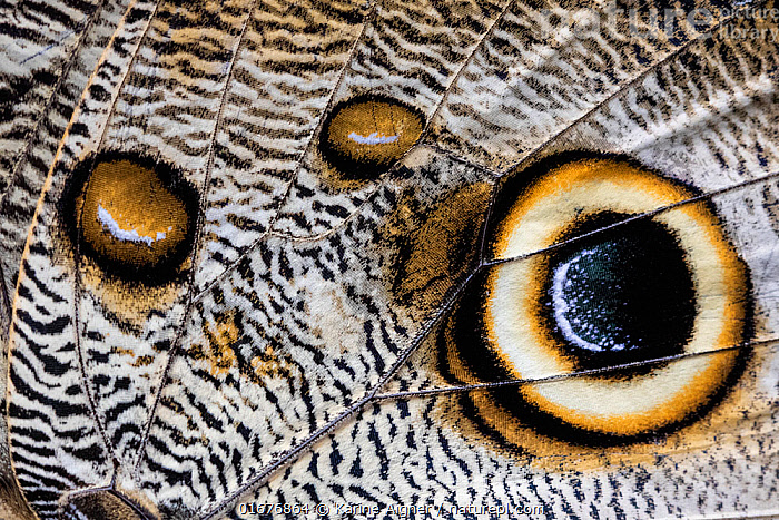 Close up of the spots pattern on wing of a Giant owl butterfly (Caligo sp) Mindo, Ecuador.  ,  Animal,Wildlife,Arthropod,Insect,Brushfooted butterfly,Animalia,Animal,Wildlife,Hexapoda,Arthropod,Invertebrate,Hexapod,Arthropoda,Insecta,Insect,Lepidoptera,Lepidopterans,Nymphalidae,Brushfooted butterfly,Fourfooted butterfly,Nymphalid,Butterfly,Papilionoidea,Caligo,Latin America,South America,Ecuador,Close Up,Wing,Tropical,Eye spot,Eyespot,  ,  Karine Aigner