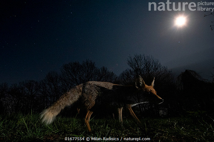 Red fox (Vulpes vulpes) female under a starry spring sky with full moon, Hungary.  ,  Animal,Wildlife,Vertebrate,Mammal,Carnivore,Canid,True fox,Red fox,Animalia,Animal,Wildlife,Vertebrate,Mammalia,Mammal,Carnivora,Carnivore,Canidae,Canid,Vulpes,True fox,Vulpini,Caninae,Vulpes vulpes,Red fox,Alertness,Dark,Europe,Eastern Europe,East Europe,Hungary,Low Angle View,Photographic Effect,Long Exposure,Female animal,Vixen,Vixens,Moon,Full Moon,Stars,Sky,Night,Negative space,  ,  Milan Radisics
