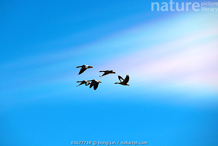 A flock of Bar-headed geese (Anser indicus) flying through a rainbow lenticular stratocumulus cloud, a rare cloud that lasted a week in Yunnan province late in 2020  ,  COP26,,,Animal,Wildlife,Vertebrate,Bird,Birds,Water fowl,Waterfowl,True goose,Bar headed goose,Animalia,Animal,Wildlife,Vertebrate,Aves,Bird,Birds,Anseriformes,Water fowl,Galloanserans,Waterfowl,Anatidae,Anser,True goose,Goose,Anserini,Anserinae,Anser indicus,Bar headed goose,Flying,Asia,East Asia,China,Sky,Cloud,High altitude,Altitude,Wildfowl,Goose,Geese  ,  Dong Lei