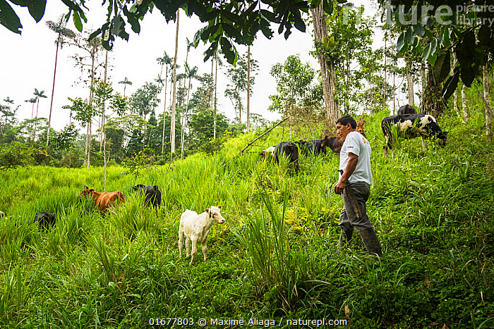 Man in field with cattle, Mache chindul reserve, Choco, Ecuador  ,  People,Man,Agricultural Occupation,Farmer,Latin America,South America,Ecuador,Animal,Agricultural Land,Cultivated Land,Field,Livestock,Domestic animal,Cattle,Farmland,Domesticated,Mammal,  ,  Maxime Aliaga