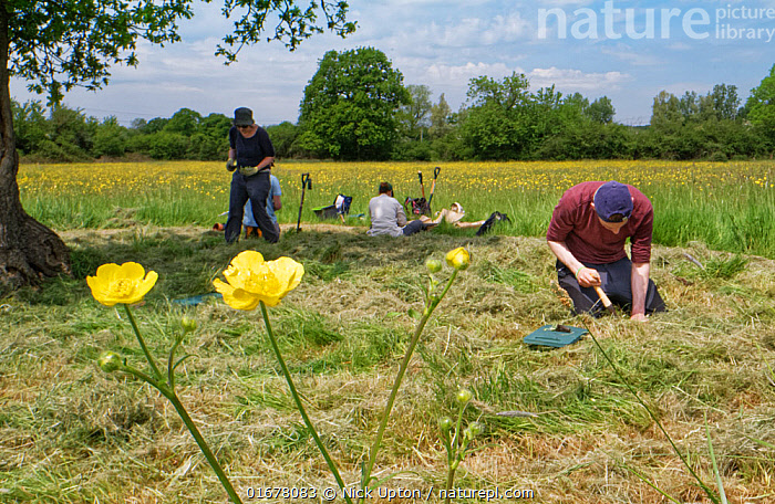 Wiltshire Wildlife Trust volunteers planting Devil's bit scabious (Succisa pratensis) plant plugs in a mown patch of a formerly farmed meadow with many flowering Meadow buttercups (Ranunculus acris) to provide food for caterpillars of the Marsh fritillary butterfly (Euphydryas aurinia), Upper Minety Meadows reserve, Wiltshire, UK, June. Model released  ,  Plant,Vascular plant,Flowering plant,Dicot,Buttercup,Meadow buttercup,Asterid,Teasel family,Devils bit scabious,Plantae,Plant,Tracheophyta,Vascular plant,Magnoliopsida,Flowering plant,Angiosperm,Spermatophyte,Spermatophytina,Angiospermae,Ranunculales,Dicot,Dicotyledon,Ranunculanae,Ranunculaceae,Ranunculus,Buttercup,Ranunculus acris,Meadow buttercup,Tall buttercup,giant buttercup,Ranunculus acer,Ranunculus stevenii,Dipsacales,Asterid,Asteranae,Dipsacaceae,Teasel family,Succisa,Succisa pratensis,Devils bit scabious,Devilsbit scabious,Scabiosa succisa,Scabiosa arvensis,Planting,People,European Descent,Caucasian Ethnicity,Man,Few,Four,Group,Europe,Western Europe,UK,Great Britain,England,Wiltshire,Flower,Summer,Grassland,Meadow,Reserve,Conservation,Volunteer,Volunteering,Volunteers,Protected area,  ,  Nick Upton