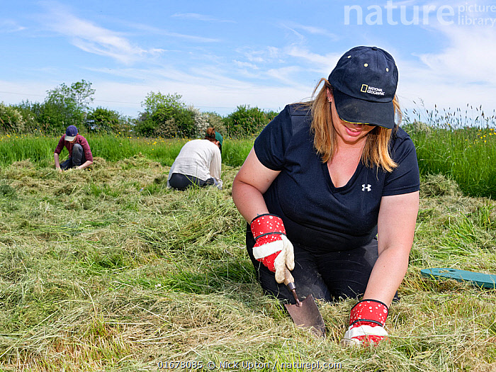 Wiltshire Wildlife Trust volunteers planting Devil's bit scabious (Succisa pratensis) plant plugs in a mown patch of a formerly farmed meadow to provide food for caterpillars of the Marsh fritillary butterfly (Euphydryas aurinia), Upper Minety Meadows reserve, Wiltshire, UK, June. Model released  ,  Plant,Vascular plant,Flowering plant,Asterid,Teasel family,Devils bit scabious,Plantae,Plant,Tracheophyta,Vascular plant,Magnoliopsida,Flowering plant,Angiosperm,Spermatophyte,Spermatophytina,Angiospermae,Dipsacales,Asterid,Dicot,Dicotyledon,Asteranae,Dipsacaceae,Teasel family,Succisa,Succisa pratensis,Devils bit scabious,Devilsbit scabious,Scabiosa succisa,Scabiosa arvensis,Digging,Planting,People,European Descent,Caucasian Ethnicity,Woman,Happiness,Few,Three,Group,Facial Expression,Smiling,Europe,Western Europe,UK,Great Britain,England,Wiltshire,Equipment,Gardening Equipment,Gardening Tools,Tool,Tools,Trowel,Trowels,Summer,Grassland,Meadow,Reserve,Conservation,Volunteer,Volunteering,Volunteers,Protected area,  ,  Nick Upton