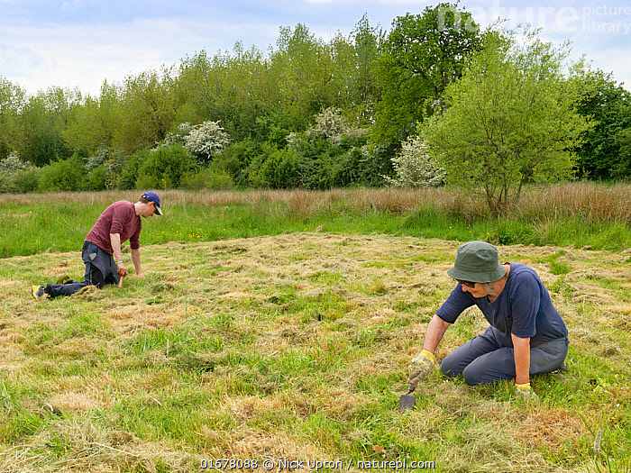 Wiltshire Wildlife Trust volunteers planting Devil's bit scabious (Succisa pratensis) plant plugs in a mown patch of a formerly farmed marshy meadow to provide food for caterpillars of the Marsh fritillary butterfly (Euphydryas aurinia), Upper Minety Meadows reserve, Wiltshire, UK, June. Model released  ,  Plant,Vascular plant,Flowering plant,Asterid,Teasel family,Devils bit scabious,Plantae,Plant,Tracheophyta,Vascular plant,Magnoliopsida,Flowering plant,Angiosperm,Spermatophyte,Spermatophytina,Angiospermae,Dipsacales,Asterid,Dicot,Dicotyledon,Asteranae,Dipsacaceae,Teasel family,Succisa,Succisa pratensis,Devils bit scabious,Devilsbit scabious,Scabiosa succisa,Scabiosa arvensis,Digging,Planting,People,European Descent,Caucasian Ethnicity,Woman,Man,Two,Europe,Western Europe,UK,Great Britain,England,Wiltshire,Summer,Grassland,Meadow,Reserve,Conservation,Volunteer,Volunteering,Volunteers,Protected area,  ,  Nick Upton