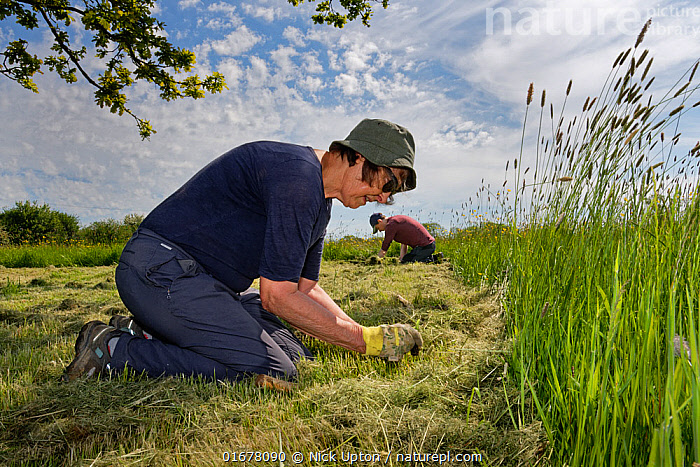 Wiltshire Wildlife Trust volunteers planting Devil's bit scabious (Succisa pratensis) plant plugs in a mown patch of a formerly farmed meadow to provide food for caterpillars of the Marsh fritillary butterfly (Euphydryas aurinia), Upper Minety Meadows reserve, Wiltshire, UK, June. Model released  ,  Plant,Vascular plant,Flowering plant,Asterid,Teasel family,Devils bit scabious,Plantae,Plant,Tracheophyta,Vascular plant,Magnoliopsida,Flowering plant,Angiosperm,Spermatophyte,Spermatophytina,Angiospermae,Dipsacales,Asterid,Dicot,Dicotyledon,Asteranae,Dipsacaceae,Teasel family,Succisa,Succisa pratensis,Devils bit scabious,Devilsbit scabious,Scabiosa succisa,Scabiosa arvensis,Planting,People,European Descent,Caucasian Ethnicity,Woman,Two,Europe,Western Europe,UK,Great Britain,England,Wiltshire,Summer,Grassland,Meadow,Reserve,Conservation,Volunteer,Volunteering,Volunteers,Protected area,  ,  Nick Upton