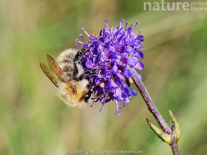 Common carder bee (Bombus pascuorum) visiting a Devil's bit scabious (Succisa pratensis) flower in a chalk grassland meadow, Wiltshire, UK, September.  ,  Plant,Vascular plant,Flowering plant,Asterid,Teasel family,Devils bit scabious,Animal,Wildlife,Arthropod,Insect,Bee,Bumblebee,Common carder bumblebee,Plantae,Plant,Tracheophyta,Vascular plant,Magnoliopsida,Flowering plant,Angiosperm,Spermatophyte,Spermatophytina,Angiospermae,Dipsacales,Asterid,Dicot,Dicotyledon,Asteranae,Dipsacaceae,Teasel family,Succisa,Succisa pratensis,Devils bit scabious,Devilsbit scabious,Scabiosa succisa,Scabiosa arvensis,Animalia,Animal,Wildlife,Hexapoda,Arthropod,Invertebrate,Hexapod,Arthropoda,Insecta,Insect,Hymenoptera,Apidae,Bee,Apid bee,Apoidea,Apocrita,Bombus,Bumblebee,Bumble bee,Bombus pascuorum,Common carder bumblebee,Meadow bumblebee,Apis pascuorum,Apis agrorum,Bombus agrorum,Pollination,Europe,Western Europe,UK,Great Britain,England,Wiltshire,Grassland,Meadow,Feeding,Nectaring,Chalk grassland,Calcareous,  ,  Nick Upton