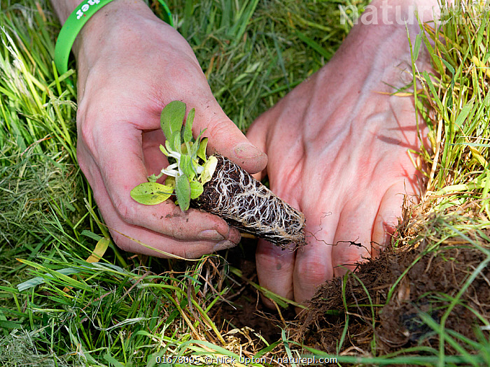 Devil's bit scabious (Succisa pratensis) plug being planted in a formerly farmed meadow by a Wiltshire Wildlife Trust volunteer to provide food for caterpillars of the Marsh fritillary butterfly (Euphydryas aurinia), Upper Minety Meadows reserve, Wiltshire, UK, June. Model released  ,  Plant,Vascular plant,Flowering plant,Asterid,Teasel family,Devils bit scabious,Plantae,Plant,Tracheophyta,Vascular plant,Magnoliopsida,Flowering plant,Angiosperm,Spermatophyte,Spermatophytina,Angiospermae,Dipsacales,Asterid,Dicot,Dicotyledon,Asteranae,Dipsacaceae,Teasel family,Succisa,Succisa pratensis,Devils bit scabious,Devilsbit scabious,Scabiosa succisa,Scabiosa arvensis,Planting,People,European Descent,Caucasian Ethnicity,Europe,Western Europe,UK,Great Britain,England,Wiltshire,Close Up,Leaf,Foliage,Root,Hand,Finger,Fingers,Summer,Grassland,Meadow,Reserve,Conservation,Volunteer,Volunteering,Volunteers,Protected area,  ,  Nick Upton