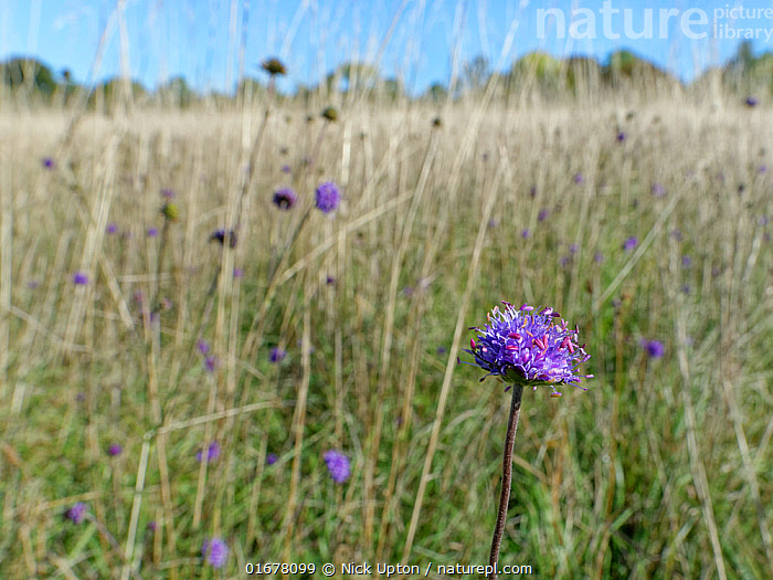 Devil's bit scabious (Succisa pratensis) stand flowering in a chalk grassland meadow in autumn after other flowers have set seed, Wiltshire, UK, September.  ,  Plant,Vascular plant,Flowering plant,Asterid,Teasel family,Devils bit scabious,Plantae,Plant,Tracheophyta,Vascular plant,Magnoliopsida,Flowering plant,Angiosperm,Spermatophyte,Spermatophytina,Angiospermae,Dipsacales,Asterid,Dicot,Dicotyledon,Asteranae,Dipsacaceae,Teasel family,Succisa,Succisa pratensis,Devils bit scabious,Devilsbit scabious,Scabiosa succisa,Scabiosa arvensis,Length,Europe,Western Europe,UK,Great Britain,England,Wiltshire,Grassland,Meadow,Chalk grassland,Calcareous,  ,  Nick Upton