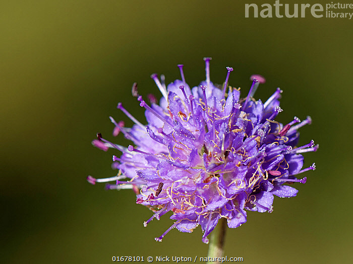 Devil's bit scabious (Succisa pratensis) flowering in a woodland ride, Lower Woods, Gloucestershire, UK, October.  ,  Plant,Vascular plant,Flowering plant,Asterid,Teasel family,Devils bit scabious,Plantae,Plant,Tracheophyta,Vascular plant,Magnoliopsida,Flowering plant,Angiosperm,Spermatophyte,Spermatophytina,Angiospermae,Dipsacales,Asterid,Dicot,Dicotyledon,Asteranae,Dipsacaceae,Teasel family,Succisa,Succisa pratensis,Devils bit scabious,Devilsbit scabious,Scabiosa succisa,Scabiosa arvensis,Europe,Western Europe,UK,Great Britain,England,Gloucestershire,Gloucester,Close Up,Autumn,Woodland,Forest,  ,  Nick Upton