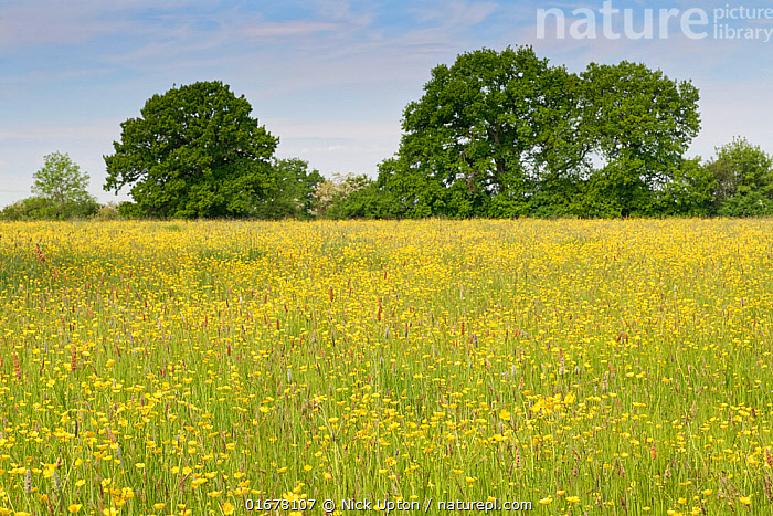 Formerly farmed meadow with many flowering Meadow buttercups (Ranunculus acris) surrounded by mature hedgerows and English oak trees (Quercus robur), Wiltshire Wildlife Trust's Upper Minety Meadows reserve, Wiltshire, UK, June.  ,  Plant,Vascular plant,Flowering plant,Dicot,Buttercup,Meadow buttercup,Rosid,Oak,Pedunculate oak,Plantae,Plant,Tracheophyta,Vascular plant,Magnoliopsida,Flowering plant,Angiosperm,Spermatophyte,Spermatophytina,Angiospermae,Ranunculales,Dicot,Dicotyledon,Ranunculanae,Ranunculaceae,Ranunculus,Buttercup,Ranunculus acris,Meadow buttercup,Tall buttercup,giant buttercup,Ranunculus acer,Ranunculus stevenii,Fagales,Rosid,Rosanae,Fagaceae,Quercus,Oak,Oak tree,Quercus robur,Pedunculate oak,English oak tree,French oak,Quercus pedunculata,Quercus longaeva,Europe,Western Europe,UK,Great Britain,England,Wiltshire,Flower,Landscape,Summer,Grassland,Meadow,Reserve,Protected area,Tree,Trees  ,  Nick Upton