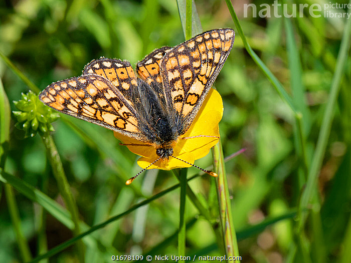 Marsh fritillary butterfly (Euphydryas aurinia) nectaring on a Meadow buttercup (Ranunculus acris) flower in a chalk grassland meadow, Wiltshire, UK, May.  ,  Plant,Vascular plant,Flowering plant,Dicot,Buttercup,Meadow buttercup,Animal,Wildlife,Arthropod,Insect,Brushfooted butterfly,Marsh fritillary,Plantae,Plant,Tracheophyta,Vascular plant,Magnoliopsida,Flowering plant,Angiosperm,Spermatophyte,Spermatophytina,Angiospermae,Ranunculales,Dicot,Dicotyledon,Ranunculanae,Ranunculaceae,Ranunculus,Buttercup,Ranunculus acris,Meadow buttercup,Tall buttercup,giant buttercup,Ranunculus acer,Ranunculus stevenii,Animalia,Animal,Wildlife,Hexapoda,Arthropod,Invertebrate,Hexapod,Arthropoda,Insecta,Insect,Lepidoptera,Lepidopterans,Nymphalidae,Brushfooted butterfly,Fourfooted butterfly,Nymphalid,Butterfly,Papilionoidea,Euphydryas,Euphydryas aurinia,Marsh fritillary,Papilio aurinia,Melitaea debilis,Melitaea valentini,Papilio merope,Foraging,Europe,Western Europe,UK,Great Britain,England,Wiltshire,Flower,Summer,Grassland,Meadow,Feeding,Reserve,Protected area,Nectaring,Chalk grassland,Calcareous,  ,  Nick Upton