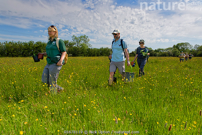 Ellie Jones of Wiltshire Wildlife Trust and a team of volunteers carrying trays and pots of Devil's bit scabious (Succisa pratensis) plant plugs for planting in a formerly farmed meadow to provide food for caterpillars of the Marsh fritillary butterfly (Euphydryas aurinia), Upper Minety Meadows reserve, Wiltshire, UK, June. Model released  ,  Plant,Vascular plant,Flowering plant,Dicot,Buttercup,Meadow buttercup,Asterid,Teasel family,Devils bit scabious,Plantae,Plant,Tracheophyta,Vascular plant,Magnoliopsida,Flowering plant,Angiosperm,Spermatophyte,Spermatophytina,Angiospermae,Ranunculales,Dicot,Dicotyledon,Ranunculanae,Ranunculaceae,Ranunculus,Buttercup,Ranunculus acris,Meadow buttercup,Tall buttercup,giant buttercup,Ranunculus acer,Ranunculus stevenii,Dipsacales,Asterid,Asteranae,Dipsacaceae,Teasel family,Succisa,Succisa pratensis,Devils bit scabious,Devilsbit scabious,Scabiosa succisa,Scabiosa arvensis,Planting,People,European Descent,Caucasian Ethnicity,Woman,Man,Group,Europe,Western Europe,UK,Great Britain,England,Wiltshire,Flower,Summer,Grassland,Meadow,Reserve,Conservation,Volunteer,Volunteering,Volunteers,Protected area,  ,  Nick Upton