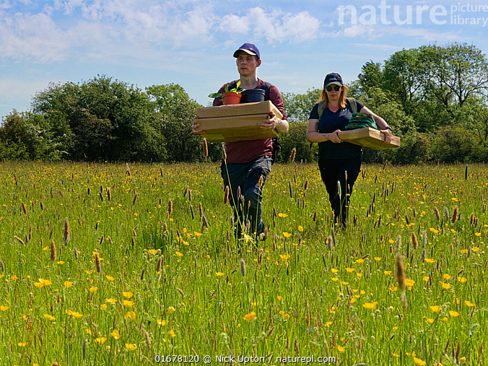 Wiltshire Wildlife Trust volunteers carrying trays of Devil's bit scabious (Succisa pratensis) plant plugs for planting in a formerly farmed meadow to provide food for caterpillars of the Marsh fritillary butterfly (Euphydryas aurinia), Upper Minety Meadows reserve, Wiltshire, UK, June. Model released  ,  Plant,Vascular plant,Flowering plant,Dicot,Buttercup,Meadow buttercup,Asterid,Teasel family,Devils bit scabious,Plantae,Plant,Tracheophyta,Vascular plant,Magnoliopsida,Flowering plant,Angiosperm,Spermatophyte,Spermatophytina,Angiospermae,Ranunculales,Dicot,Dicotyledon,Ranunculanae,Ranunculaceae,Ranunculus,Buttercup,Ranunculus acris,Meadow buttercup,Tall buttercup,giant buttercup,Ranunculus acer,Ranunculus stevenii,Dipsacales,Asterid,Asteranae,Dipsacaceae,Teasel family,Succisa,Succisa pratensis,Devils bit scabious,Devilsbit scabious,Scabiosa succisa,Scabiosa arvensis,Planting,People,European Descent,Caucasian Ethnicity,Woman,Man,Two,Europe,Western Europe,UK,Great Britain,England,Wiltshire,Flower,Summer,Grassland,Meadow,Reserve,Conservation,Volunteer,Volunteering,Volunteers,Protected area,  ,  Nick Upton