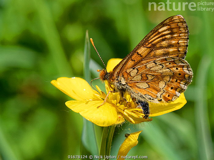 Marsh fritillary butterfly (Euphydryas aurinia) nectaring on a Meadow buttercup (Ranunculus acris) flower in a chalk grassland meadow, Wiltshire, UK, June.  ,  Plant,Vascular plant,Flowering plant,Dicot,Buttercup,Meadow buttercup,Animal,Wildlife,Arthropod,Insect,Brushfooted butterfly,Marsh fritillary,Plantae,Plant,Tracheophyta,Vascular plant,Magnoliopsida,Flowering plant,Angiosperm,Spermatophyte,Spermatophytina,Angiospermae,Ranunculales,Dicot,Dicotyledon,Ranunculanae,Ranunculaceae,Ranunculus,Buttercup,Ranunculus acris,Meadow buttercup,Tall buttercup,giant buttercup,Ranunculus acer,Ranunculus stevenii,Animalia,Animal,Wildlife,Hexapoda,Arthropod,Invertebrate,Hexapod,Arthropoda,Insecta,Insect,Lepidoptera,Lepidopterans,Nymphalidae,Brushfooted butterfly,Fourfooted butterfly,Nymphalid,Butterfly,Papilionoidea,Euphydryas,Euphydryas aurinia,Marsh fritillary,Papilio aurinia,Melitaea debilis,Melitaea valentini,Papilio merope,Pollination,Foraging,Europe,Western Europe,UK,Great Britain,England,Wiltshire,Flower,Proboscis,Proboscises,Proboscisides,Summer,Grassland,Meadow,Feeding,Ventral view,Underside,Nectaring,Chalk grassland,Calcareous,  ,  Nick Upton