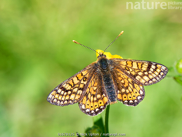 Marsh fritillary butterfly (Euphydryas aurinia) sunning on a Meadow buttercup (Ranunculus acris) flower in a chalk grassland meadow, Wiltshire, UK, June.  ,  Plant,Vascular plant,Flowering plant,Dicot,Buttercup,Meadow buttercup,Animal,Wildlife,Arthropod,Insect,Brushfooted butterfly,Marsh fritillary,Plantae,Plant,Tracheophyta,Vascular plant,Magnoliopsida,Flowering plant,Angiosperm,Spermatophyte,Spermatophytina,Angiospermae,Ranunculales,Dicot,Dicotyledon,Ranunculanae,Ranunculaceae,Ranunculus,Buttercup,Ranunculus acris,Meadow buttercup,Tall buttercup,giant buttercup,Ranunculus acer,Ranunculus stevenii,Animalia,Animal,Wildlife,Hexapoda,Arthropod,Invertebrate,Hexapod,Arthropoda,Insecta,Insect,Lepidoptera,Lepidopterans,Nymphalidae,Brushfooted butterfly,Fourfooted butterfly,Nymphalid,Butterfly,Papilionoidea,Euphydryas,Euphydryas aurinia,Marsh fritillary,Papilio aurinia,Melitaea debilis,Melitaea valentini,Papilio merope,Resting,Rest,Europe,Western Europe,UK,Great Britain,England,Wiltshire,High Angle View,Flower,Wing,Summer,Grassland,Meadow,Animal Behaviour,Thermoregulation,Basking,Elevated view,Wings spread,Wingspan,Dorsal view,Chalk grassland,Calcareous,Sunning,  ,  Nick Upton