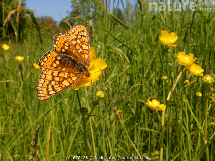 Marsh fritillary butterfly (Euphydryas aurinia) nectaring on a Meadow buttercup (Ranunculus acris) flower in a chalk grassland meadow, Wiltshire, UK, June.  ,  Plant,Vascular plant,Flowering plant,Dicot,Buttercup,Meadow buttercup,Animal,Wildlife,Arthropod,Insect,Brushfooted butterfly,Marsh fritillary,Plantae,Plant,Tracheophyta,Vascular plant,Magnoliopsida,Flowering plant,Angiosperm,Spermatophyte,Spermatophytina,Angiospermae,Ranunculales,Dicot,Dicotyledon,Ranunculanae,Ranunculaceae,Ranunculus,Buttercup,Ranunculus acris,Meadow buttercup,Tall buttercup,giant buttercup,Ranunculus acer,Ranunculus stevenii,Animalia,Animal,Wildlife,Hexapoda,Arthropod,Invertebrate,Hexapod,Arthropoda,Insecta,Insect,Lepidoptera,Lepidopterans,Nymphalidae,Brushfooted butterfly,Fourfooted butterfly,Nymphalid,Butterfly,Papilionoidea,Euphydryas,Euphydryas aurinia,Marsh fritillary,Papilio aurinia,Melitaea debilis,Melitaea valentini,Papilio merope,Pollination,Foraging,Europe,Western Europe,UK,Great Britain,England,Wiltshire,Wide Angle,Flower,Proboscis,Proboscises,Proboscisides,Wing,Summer,Grassland,Meadow,Feeding,Wings spread,Wingspan,Nectaring,Chalk grassland,Calcareous,  ,  Nick Upton