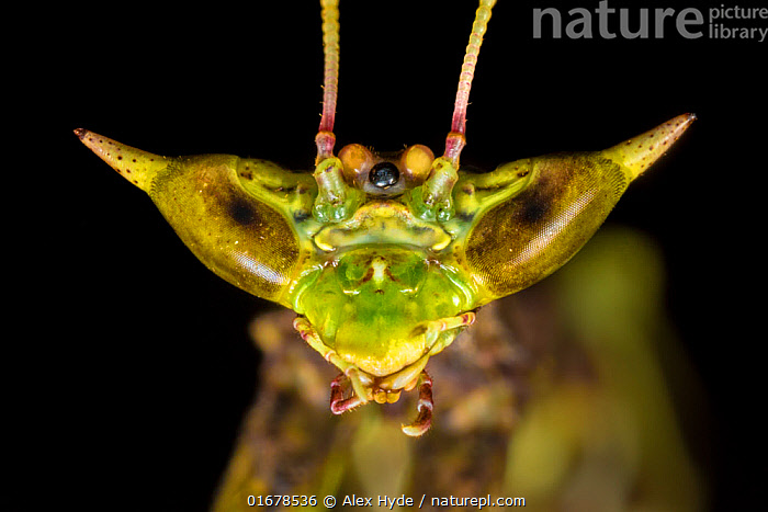 Dragon mantis (Toxodera beieri), detail of head showing large compound eyes giving it the visual acuity to hunt fast-moving prey. Danum Valley, Sabah, Borneo.  ,  Animal,Wildlife,Arthropod,Insect,Neoptera,Animalia,Animal,Wildlife,Hexapoda,Arthropod,Invertebrate,Hexapod,Arthropoda,Insecta,Insect,Dictyoptera,Neoptera,Pterygota,Asia,South East Asia,Close Up,Portrait,Animal Eye,Eyes,Rainforest,Tropical rainforest,Forest,Borneo island,Borneo,Sabah,  ,  Alex Hyde