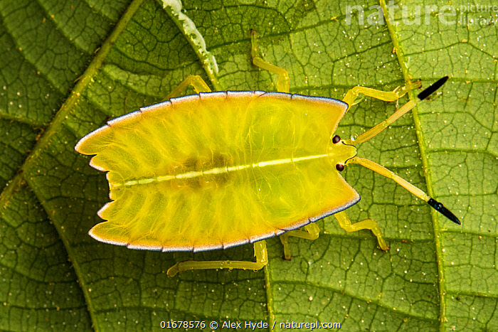 Giant shield bug nymphs (Pycanum sp.), Danum Valley, Sabah, Borneo.  ,  Animal,Wildlife,Arthropod,Insect,True bug,Typical bug,Animalia,Animal,Wildlife,Hexapoda,Arthropod,Invertebrate,Hexapod,Arthropoda,Insecta,Insect,Hemiptera,True bug,Bug,Paraneoptera,Neoptera,Pterygota,Tessaratomidae,Typical bug,Tessaratomid,Pentatomoidea,Pentatomomorpha,Heteroptera,Asia,South East Asia,Portrait,Rainforest,Tropical rainforest,Forest,Borneo island,Borneo,Danum Valley,Sabah,Pycanum,  ,  Alex Hyde