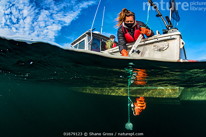 Researcher Hailey Davies uses Downrigger and action camera to monitor the lowering of a tiger rockfish (Sebastes nigrocinctus) for a study on fish barotrauma, whereby the gases in a fish expand as it is brought to the surface. The study took place off Vancouver Island, British Columbia, Canada in 2020.  ,  Animal,Wildlife,Vertebrate,Ray-finned fish,Rockfish,Tiger rockfish,Scorpionfish,Animalia,Animal,Wildlife,Vertebrate,Actinopterygii,Ray-finned fish,Osteichthyes,Bony fish,Fish,Scorpaeniformes,Scorpaenidae,Scorpionfishes,Sebastes,Rockfish,Sebastes nigrocinctus,Tiger rockfish,Black banded rockfish,Banded rockfish,Rock cod,Sebastodes nigrocinctus,Research,Researching,North America,Canada,British Columbia,Equipment,Photographic Equipment,Camera,Ocean,Pacific Ocean,Science,Marine,Underwater,Split level,Water,Temperate,Saltwater,Scorpionfish,Marine  ,  Shane Gross