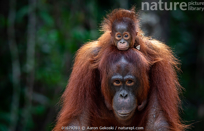 Orangutan (Pongo sp.) mother and baby rescued from entertainment industry, cared for by Borneo Orangutan Survival Foundation (BOSF), Kalimantan, Indonesian Borneo.  ,  Animal,Wildlife,Vertebrate,Mammal,Ape,Great ape,Orangutan,Animalia,Animal,Wildlife,Vertebrate,Mammalia,Mammal,Primate,Primates,Hominidae,Ape,Great ape,Hominoidea,Pongo,Orangutan,Orang utan,Ponginae,Piggybacks,Rescue,Rescues,Rescuing,Saving,Two,Asia,South East Asia,Young Animal,Baby,Conservation,Animal rehabilitation,Family,Mother baby,Borneo island,Borneo,Mother,Rehabilitation,Wildlife conservation,Eye contact,Direct Gaze,Parent baby,Kalimantan,Rehabilitation Centre,Looking,  ,  Aaron Gekoski