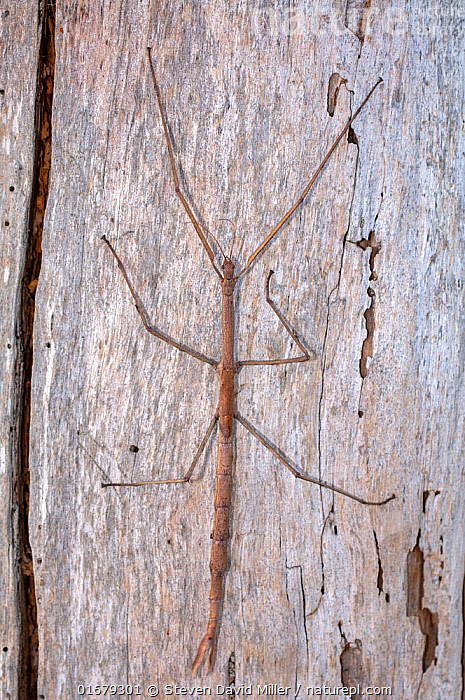 A Margin-winged stick insect (Ctenomorpha marginipennis) clinging to the bark of a tree, its body resembles a eucalyptus twig from the same trees it feeds on, Point Beauty, Tasmania, Australia. March.  ,  Animal,Wildlife,Arthropod,Insect,Phasmid,Stick insect,Margined-Winged Stick-Insect,Animalia,Animal,Wildlife,Hexapoda,Arthropod,Invertebrate,Hexapod,Arthropoda,Insecta,Insect,Phasmatodea,Phasmid,Phasmida,Phasmatoptera,Exopterygota,Phasmatidae,Stick insect,Phasmatoidea,Verophasmatodea,Bizarre,Weird,Camouflage,Australasia,Australia,Tasmania,Phasmatinae,Ctenomorpha,Ctenomorpha marginipennis,Margined-Winged Stick-Insect,  ,  Steven David Miller
