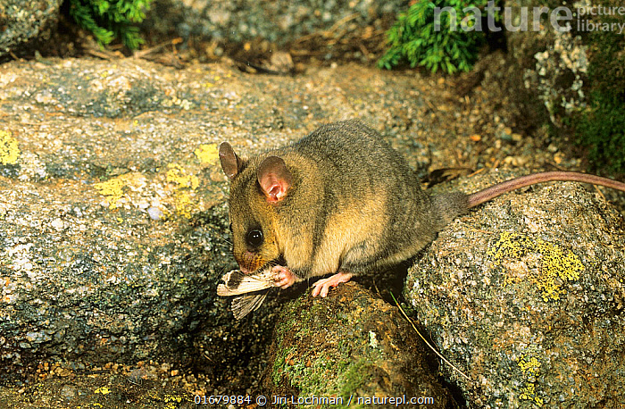 Mountain pygmy-possum (Burramys parvus) consuming its staple food Boggong moth (Agrotis infusa) on which it fattens to survive the long alpine winter, Kosciuszko National Park, Australia. Critically endangered species.  ,  Animal,Wildlife,Vertebrate,Mammal,Marsupial,Pygmy possum,Mountain pygmy possum,Animalia,Animal,Wildlife,Vertebrate,Mammalia,Mammal,Marsupialia,Marsupial,Burramyidae,Pygmy possum,Australasia,Australia,New South Wales,Feeding,Reserve,Protected area,National Park,Burramys,Burramys parvus,Mountain pygmy possum,  ,  Jiri Lochman