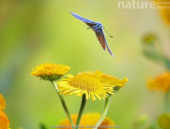 Common blue butterfly (Polyommatus icarus) in flight Sussex, England, UK, July.  ,  Animal,Wildlife,Arthropod,Insect,Gossamer winged butterfly,Common blue,Animalia,Animal,Wildlife,Hexapoda,Arthropod,Invertebrate,Hexapod,Arthropoda,Insecta,Insect,Lepidoptera,Lepidopterans,Lycaenidae,Gossamer winged butterfly,Lycaenid,Butterfly,Papilionoidea,Polyommatus,Polyommatus icarus,Common blue,European common blue,Papilio icarus,Polyommatus abdon,Polyommatus andrnicus,Flying,Colour,Yellow,Europe,Western Europe,UK,Great Britain,England,Plant,Flower,  ,  Stephen  Dalton