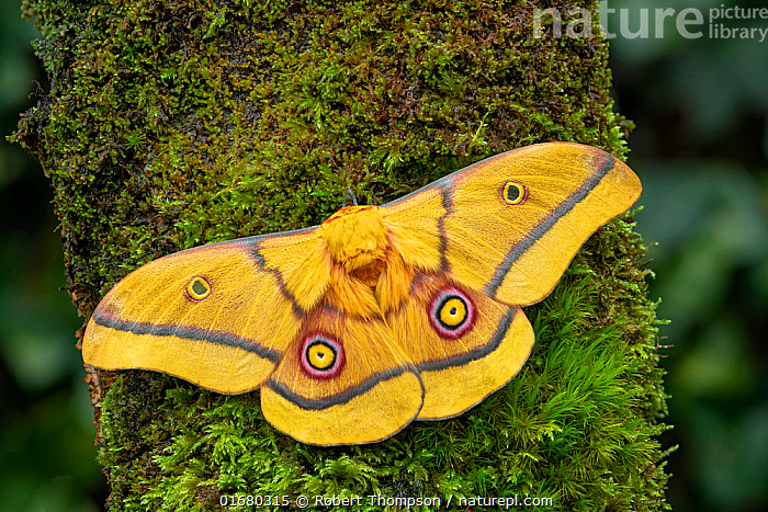 African golden emperor moth (Gonimbrasia krucki), wings open showing eyespots, Kenya, Africa Controlled conditions.  ,  Animal,Wildlife,Arthropod,Insect,Saturniid,African golden emperor moth,Animalia,Animal,Wildlife,Hexapoda,Arthropod,Invertebrate,Hexapod,Arthropoda,Insecta,Insect,Lepidoptera,Lepidopterans,Saturniidae,Saturniid,Moth,Gonimbrasia,Africa,East Africa,Kenya,Portrait,Animal markings,Giant silkworm moth,Gonimbrasia krucki,African golden emperor moth,  ,  Robert  Thompson