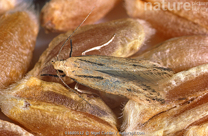 Angoumois grain moth (Sitotroga cerealella) an adult moth pest of cereal grain stores on wheat grain  ,  photomicrograph,Angoumois grain moth,Sitotroga,cerealella,adult,moth,Arthropoda,arthropod,insect,Insecta,Lepidoptera,Gelechiidae,pest,pests,grain,store,storage,agriculture,food,cereals,wheat,seed,,,Pests,  ,  Nigel Cattlin