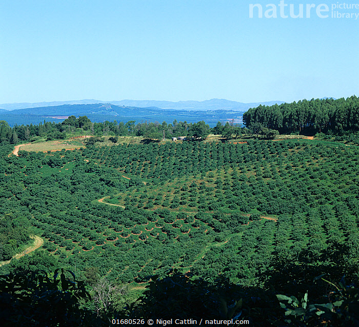 Lines of mature avocado trees in the foreground with South African Low Veldt landscape fading into the distance behind, Transvaal, South Africa, February  ,  view,mature,orchard,orchards,avocado,pears,pear,avocados,avocado pears,avocado pear,Persea,americana,angiosperm,eudicot,Lauraceae,tree,trees,Eucalyptus,forestry,plantation,landscape,farmland,countryside,agriculture,fruit,Tzaneen,Transvaal,South Africa,February,,,February,Africa,Southern Africa,South Africa,South African,  ,  Nigel Cattlin