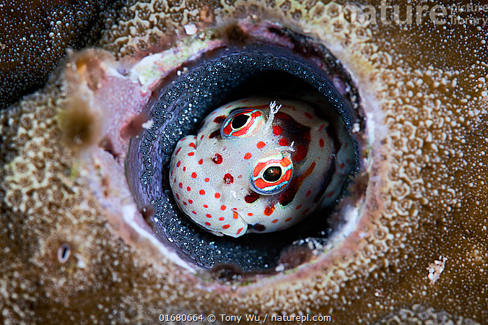 Male red-spotted blenny (Blenniella chrysospilos) watching over a clutch of eggs that are nearly ready to hatch. Kumejima, Okinawa, Japan, Pacific Ocean  ,  Animal,Wildlife,Vertebrate,Ray-finned fish,Percomorphi,Combtooth blennies,Homes,Red-spotted blenny,Animalia,Animal,Wildlife,Vertebrate,Actinopterygii,Ray-finned fish,Osteichthyes,Bony fish,Fish,Perciformes,Percomorphi,Acanthopteri,Blenniidae,Combtooth blennies,Spawning,Protection,Pattern,Spotted,Asia,East Asia,Japan,Animal Eggs,Egg,Eggs,Animal Home,Ocean,Pacific Ocean,Marine,Underwater,Water,Animal Behaviour,Reproduction,Mating Behaviour,Parental behaviour,Saltwater,Biodiversity hotspot,Parental,Homes,Interesting,Paternal Behaviour,Protector,Blenniella,Red-spotted blenny,Blenniella chrysospilos,Parenting,  ,  Tony Wu