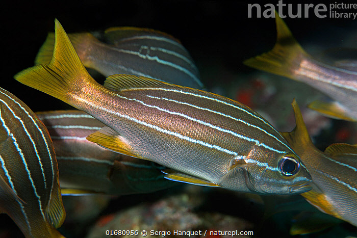 African striped grunt (Parapristipoma octolineatum). Tenerife, Canary Islands.  ,  Animal,Wildlife,Vertebrate,Ray-finned fish,Percomorphi,Grunt,African striped grunt,Animalia,Animal,Wildlife,Vertebrate,Actinopterygii,Ray-finned fish,Osteichthyes,Bony fish,Fish,Perciformes,Percomorphi,Acanthopteri,Haemulidae,Grunt,Pattern,Stripes,Ocean,Atlantic Ocean,Marine,Water,Temperate,Atlantic Islands,Saltwater,Parapristipoma,Parapristipoma octolineatum,African striped grunt,  ,  Sergio Hanquet