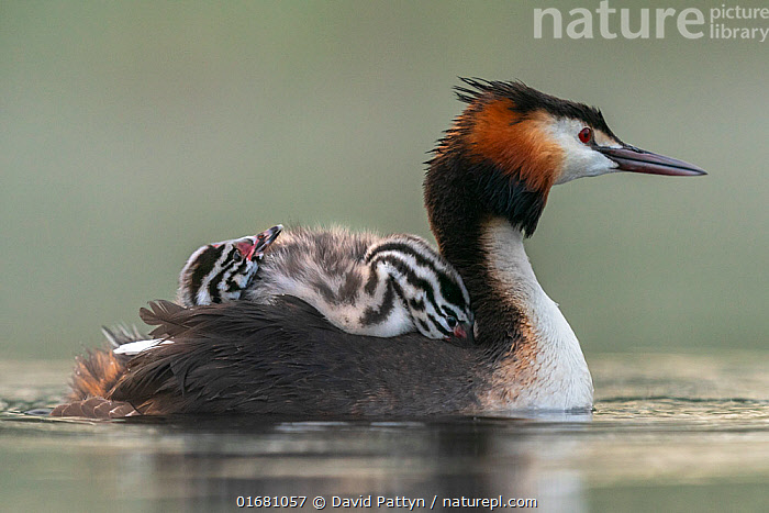 Great crested grebe (Podiceps cristatus) adult with young on its back competing for the best position. Valkenhorst Nature Reserve, Valkenswaard, The Netherlands. May  ,  Animal,Wildlife,Vertebrate,Bird,Birds,Grebe,Great crested grebe,Wildfowl,Water fowl,Animalia,Animal,Wildlife,Vertebrate,Aves,Bird,Birds,Podicipediformes,Podicipedidae,Grebe,Podiceps,Podiceps cristatus,Great crested grebe,Europe,Western Europe,The Netherlands,Holland,Netherlands,Copy Space,Young Animal,Baby,Chick,Nature,Nature Reserve,Freshwater,Water,Family,Negative space,Parent baby,Waterfowl,Wildfowl,Water fowl,  ,  David Pattyn