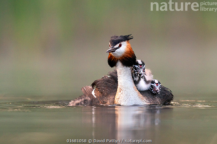 Great crested grebe (Podiceps cristatus) adult with young on nthe back busy with jockeiing for the best position on the back Valkenhorst Nature Reserve, Valkenswaard, The Netherlands. May  ,  Animal,Wildlife,Vertebrate,Bird,Birds,Grebe,Great crested grebe,Wildfowl,Water fowl,Animalia,Animal,Wildlife,Vertebrate,Aves,Bird,Birds,Podicipediformes,Podicipedidae,Grebe,Podiceps,Podiceps cristatus,Great crested grebe,Europe,Western Europe,The Netherlands,Holland,Netherlands,Copy Space,Young Animal,Baby,Chick,Nature,Nature Reserve,Freshwater,Water,Family,Negative space,Parent baby,Waterfowl,Wildfowl,Water fowl,  ,  David Pattyn