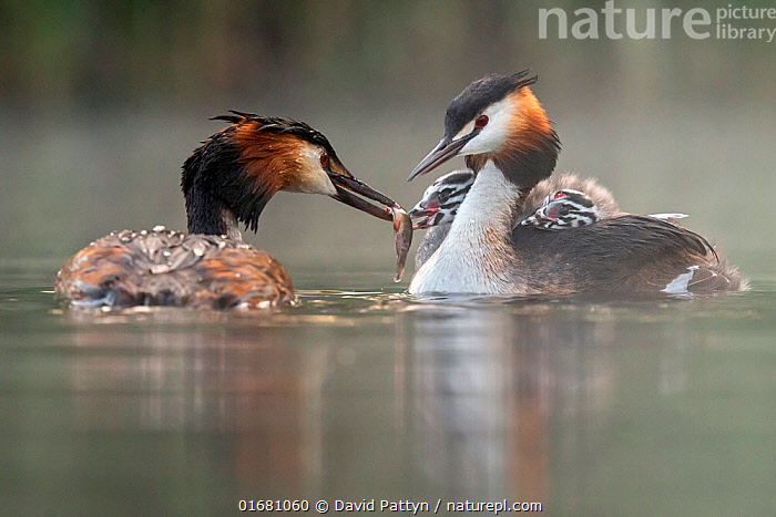 Great crested grebe (Podiceps cristatus) parent bird with chicks on the back while the other parent is feeding the chicks with a fish Valkenhorst Nature Reserve, Valkenswaard, The Netherlands. May  ,  Animal,Wildlife,Vertebrate,Bird,Birds,Grebe,Great crested grebe,Wildfowl,Water fowl,Animalia,Animal,Wildlife,Vertebrate,Aves,Bird,Birds,Podicipediformes,Podicipedidae,Grebe,Podiceps,Podiceps cristatus,Great crested grebe,Europe,Western Europe,The Netherlands,Holland,Netherlands,Copy Space,Young Animal,Baby,Chick,Nature,Nature Reserve,Freshwater,Water,Family,Negative space,Parent baby,Waterfowl,Wildfowl,Water fowl,  ,  David Pattyn
