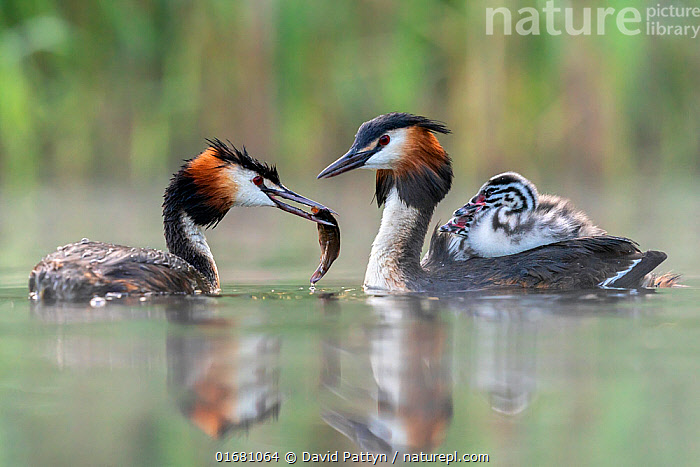 Great crested grebe (Podiceps cristatus) parent bird with chicks on the back while the other parent is feeding the chicks with a fish Valkenhorst Nature Reserve, Valkenswaard, The Netherlands. May  ,  Animal,Wildlife,Vertebrate,Bird,Birds,Grebe,Great crested grebe,Wildfowl,Water fowl,Animalia,Animal,Wildlife,Vertebrate,Aves,Bird,Birds,Podicipediformes,Podicipedidae,Grebe,Podiceps,Podiceps cristatus,Great crested grebe,Europe,Western Europe,The Netherlands,Holland,Netherlands,Young Animal,Baby,Chick,Reflection,Nature,Nature Reserve,Freshwater,Water,Animal Behaviour,Parental behaviour,Feeding young,Family,Parental,Parent baby,Waterfowl,Wildfowl,Water fowl,Parenting,  ,  David Pattyn